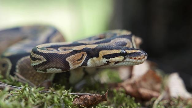 Boa dusiciel powoli podnosi głowę w zbliżeniu. wąż leży w trawie. rozmyte tło, 4k uhd.