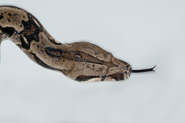 Boa kolumbijska rudobrązowa, zwana także boa pospolitą, wystawiająca język na białym tle