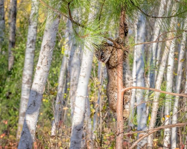 Bobcat kitten wspinający się na sosnę w brzozowym lesie
