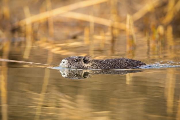 Bobroszczur pływa w wodzie blisko brzeg rzeki z trzciną