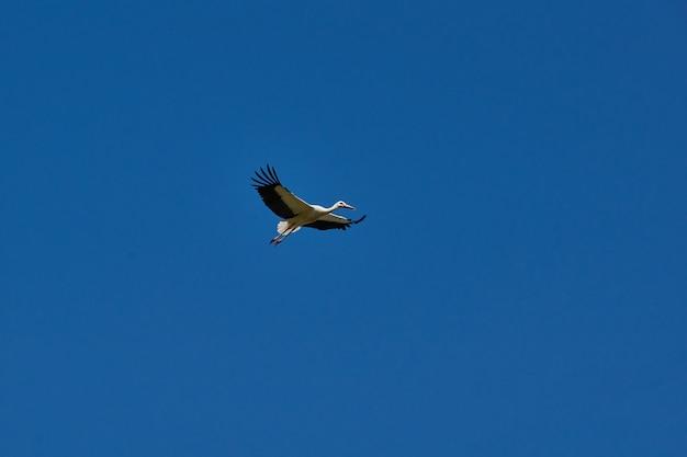 Bocian biały (łac. ciconia ciconia) lata z pola na polu w poszukiwaniu pożywienia.