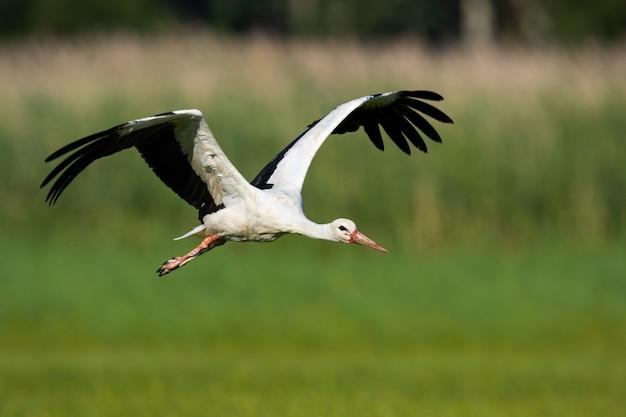 Bocian biały latający nad łąką ze skrzydłami otwarte w lecie przyrody