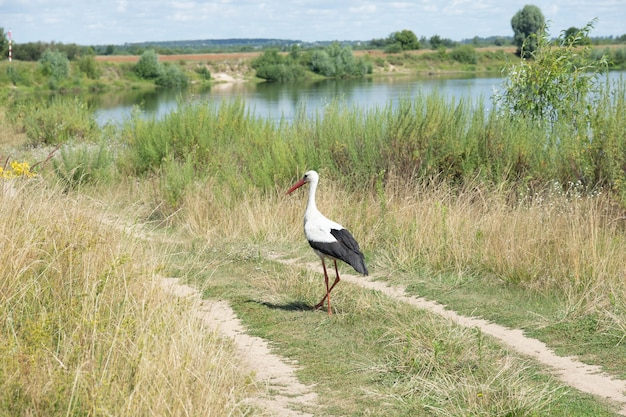 Bocian biały ptak na brzegu rzeki.