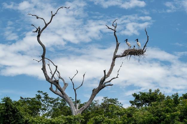 Bocian jabiru na gnieździe wysoko na suchym drzewie w brazylijskim pantanal