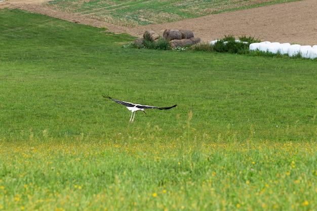 Bocian lądujący na zielonej trawie