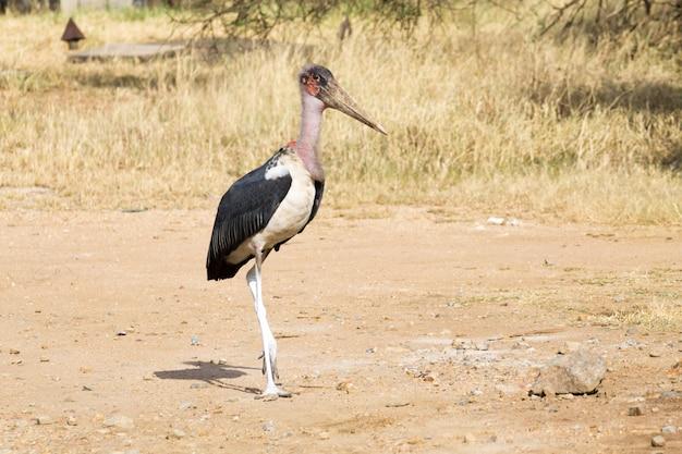 Bocian marabut z bliska. park narodowy serengeti, tanzania, afryka