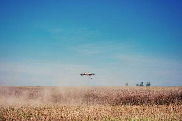 Bocian na polu złoty pszeniczny niebieskie niebo