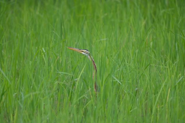 Bocian o długiej szyi ukrywał się na polach ryżowych.