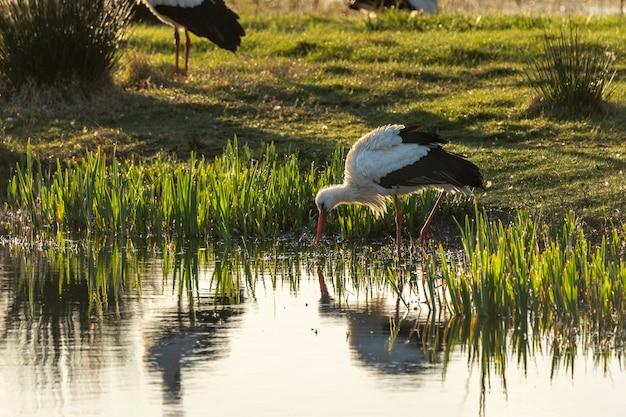 Bocian o świcie w parku naturalnym bagien ampurdan.