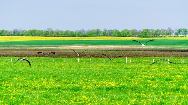Bociany białe latające z zielonego pola
