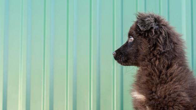 Bocznego widoku puszysty pies patrzeje daleko od