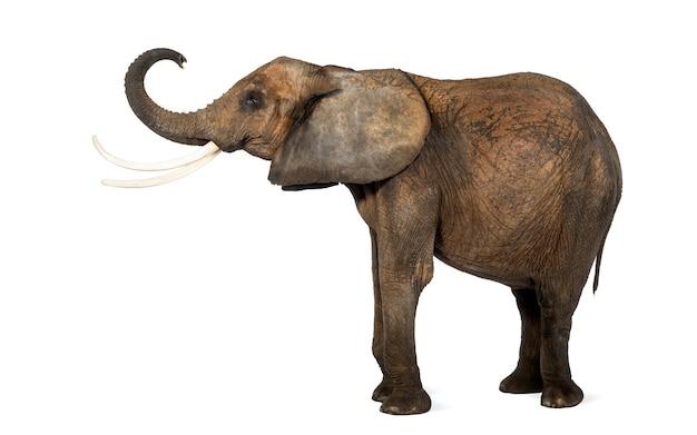 Boczny widok afrykański słoń podnosi swój bagażnika, odizolowywający na bielu