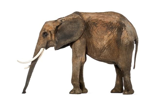 Boczny widok afrykański słoń stoi wciąż, obwąchuje podłoga, odizolowywający na bielu