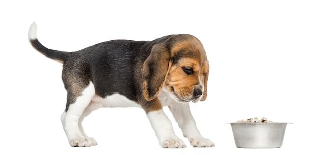 Boczny widok beagle szczeniak patrzeje jego puchar z obrzydzeniem, odizolowywający