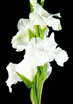 Boczny widok biały gladiolusa kwiat odizolowywający na czarnym tle