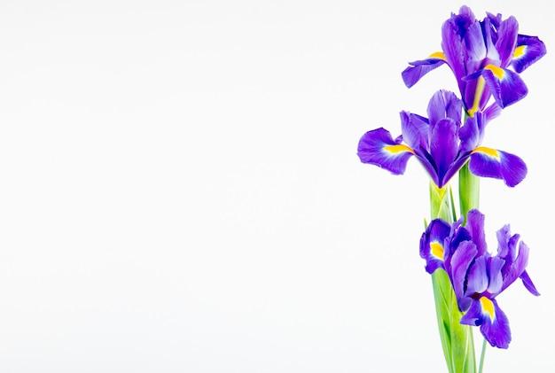 Boczny widok ciemne purpury barwi irysowych kwiaty odizolowywających na białym tle z kopii przestrzenią