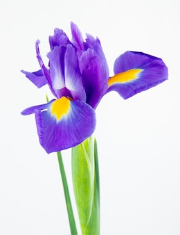 Boczny widok ciemny purpura koloru irysowy kwiat odizolowywający na białym tle