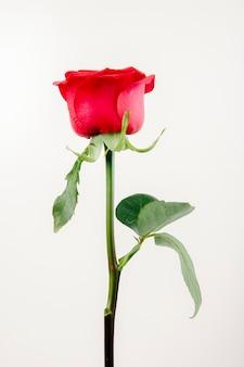 Boczny widok czerwonego koloru róża odizolowywająca na białym tle