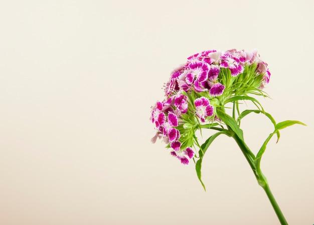 Boczny widok purpury barwi słodkiego william lub tureckiego goździka kwiatu odizolowywającego na białym tle z kopii przestrzenią