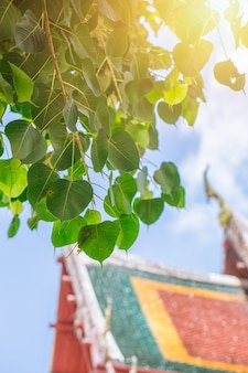 Bodhi drzewo w tajlandzkim świątynnym miejscu azjatykci buddyjski cześć