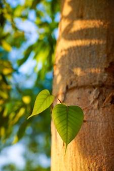 Bodhi lub peepal leaf z drzewa bodhi