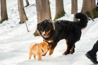 Bog Berneński pies pasterski bawi się trochę pekińczyk w parku