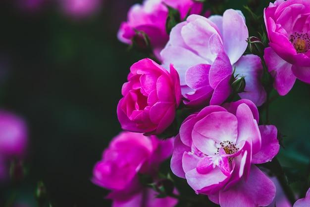 Bogate, różowe, piękne róże w letnim ogrodzie wieczorem - rosa angelica, zbliżenie