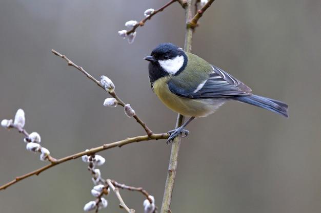 Bogatka na gałęzi w ostatnim świetle popołudnia, ptaki, wróblowate, parus major