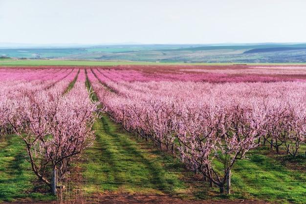 Bogato kwitnący ogród drzewny na trawniku z pięknym niebem