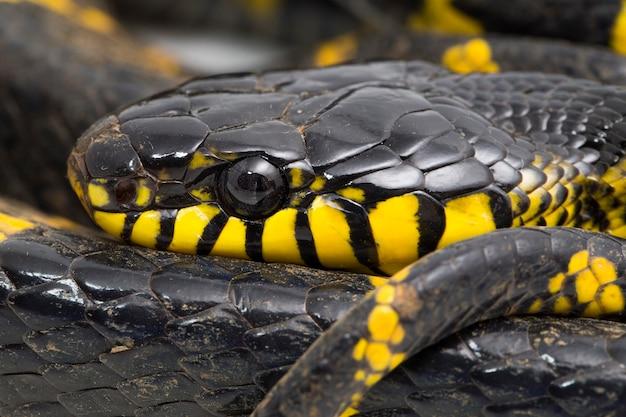 Boiga dendrophila powszechnie nazywana wężem namorzynowym lub wężem kota złotopierścieniowego na białym tle