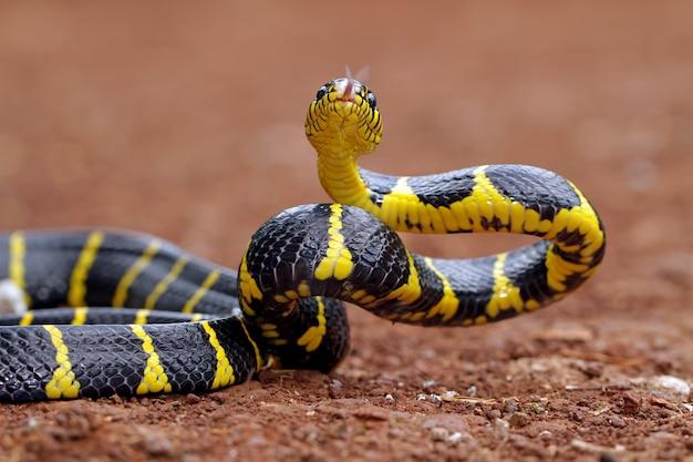 Boiga dendrophila, żółte węże pierścieniowe