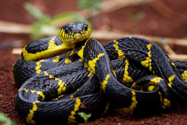 Boiga snake dendrophila żółty obrączkowany