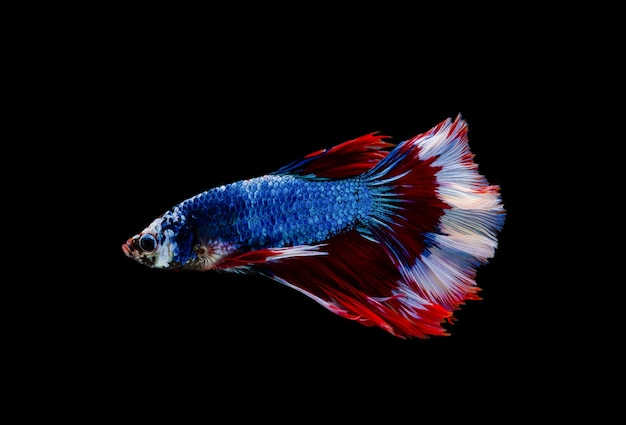 Bojownik syjamski lub ryba betta splendens, popularna ryba akwariowa w tajlandii.