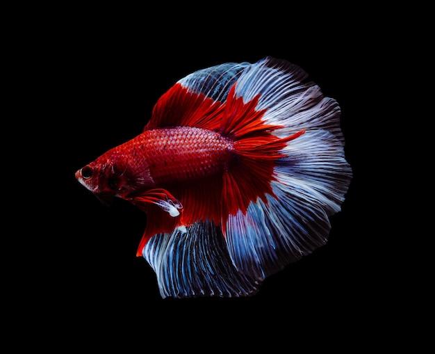 Bojownik syjamski lub ryba betta splendens, popularne ryby akwariowe w tajlandii. czerwony i biały półksiężycowy ogon betta bojowy ruch na białym tle na czarnym tle