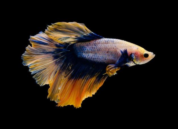 Bojownik syjamski lub ryba betta splendens, popularne ryby akwariowe w tajlandii. żółty i niebieski półksiężycowy ogon betta bojowy ruch na białym tle na czarnym tle