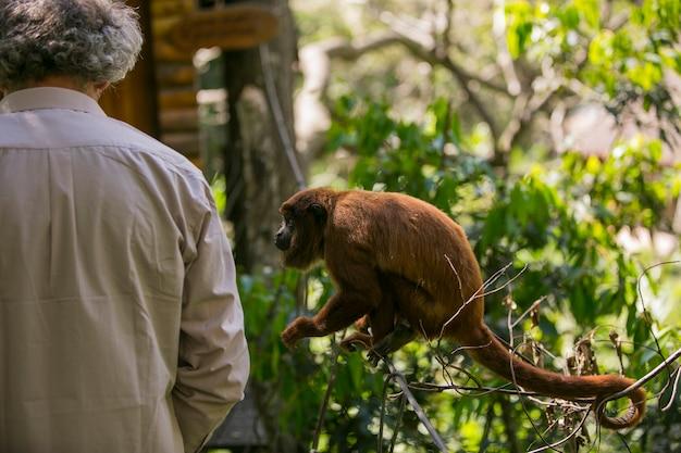 Boliwijska czerwona wyjąca małpa w yungas, coroico, boliwii