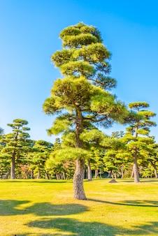 Bonsai drzewo w ogródzie cesarski pałac przy tokyo miastem japonia