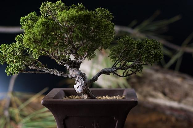 Bonsai juniperus chinensis