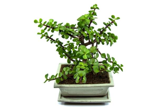 Bonsai portulacaria na białym tle portulacaria afra lub elephant bushs a smallle