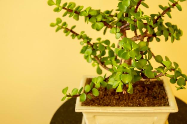 Bonsai portulacaria portulacaria afra lub elephant bush to soczysty drobnolistny