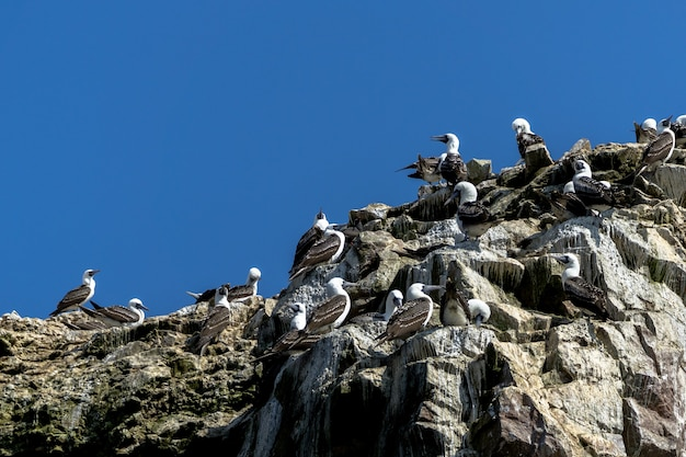 Boobies na szczycie isla ballestas na wybrzeżu peru