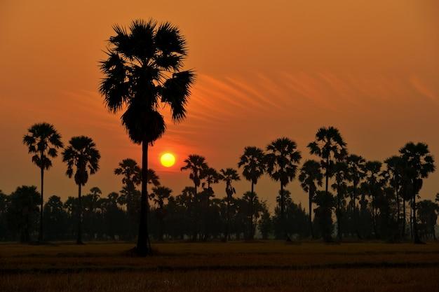 Borassus palma z thailand