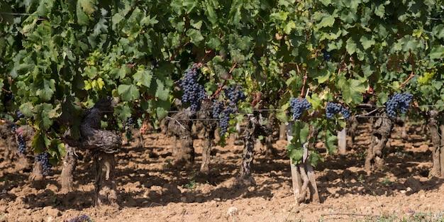 Bordeaux kiść winogron we francuskiej winnicy w banner szablonu nagłówka internetowego