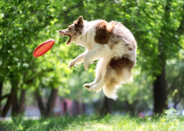Border collie łapie frisbee w parku