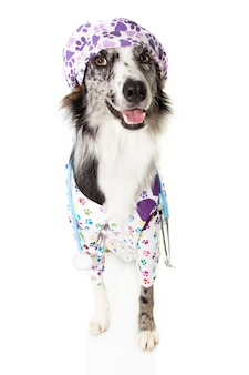 Border collie pies przebrany za lekarza weterynarii w stetoskop i czapkę, suknia szpitalna i czapka.