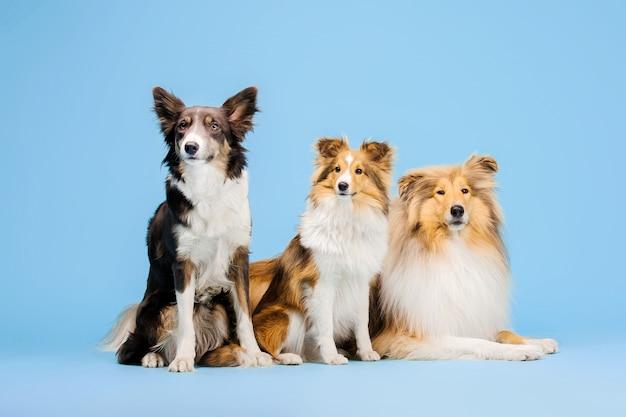 Border collie pies rough collie i owczarek szetlandzki w studiu fotograficznym na niebiesko