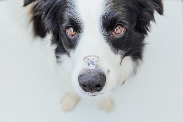 Border collie pies trzymający obrączkę na nosie na białym tle