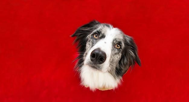 Border collie pies w czerwonym otworze po stronie papieru na białym tle