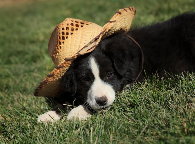 Border collie puppy with straw cowboy hat