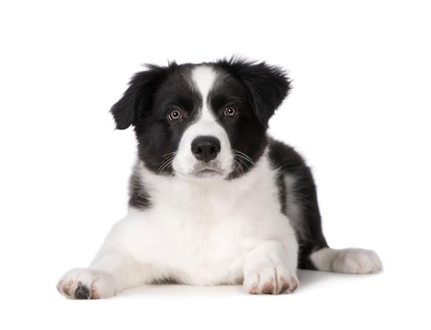 Border collie szczeniaka psa portret odizolowywający
